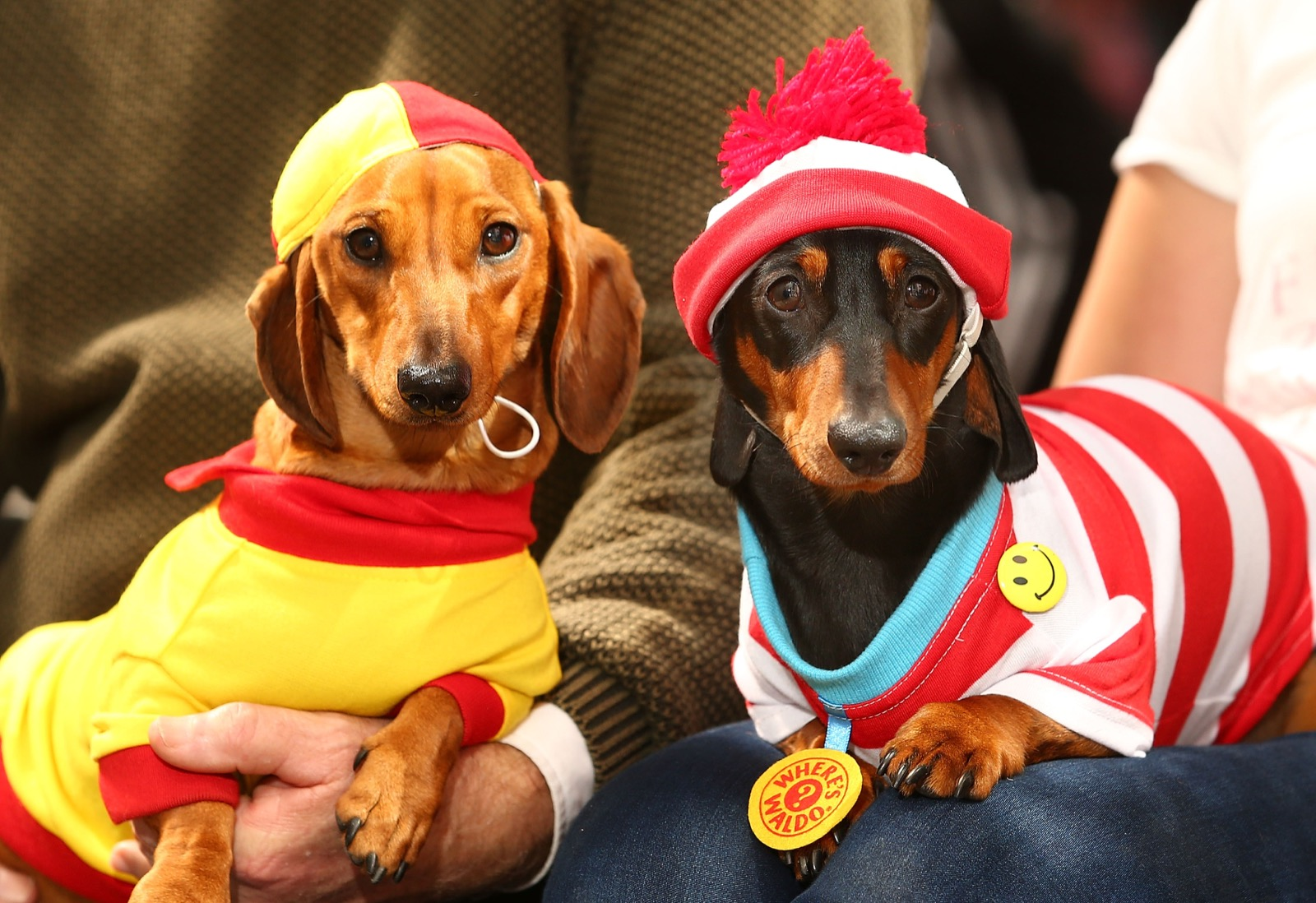 Willy, dressed as a surf livesaver and Mia, dressed as Where's Waldo? compete in the Hophaus Southgate Inaugural Best Dressed Dachshund competition, Saturday, in Melbourne, Australia. Scott Barbour/Getty Images