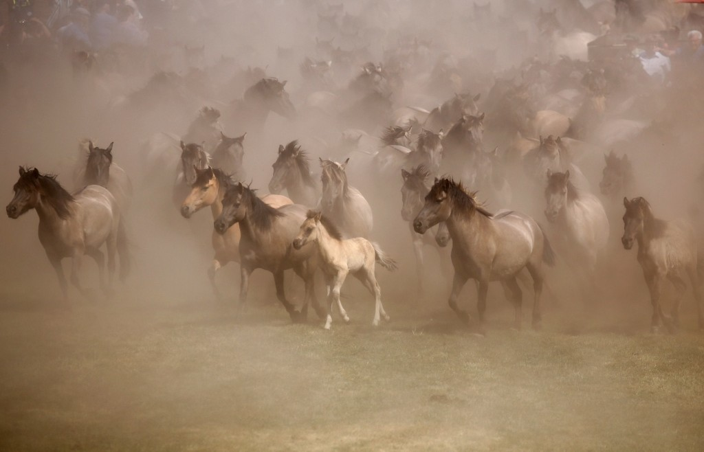 Horses kicking up dust during a wild horse show event in Duelmen, Germany. REUTERS/Leon Kuegeler