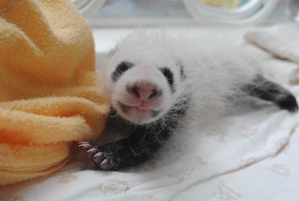 A newborn panda cub is seen at Ya'an Base, Friday, in Ya'an, Sichuan Province of China. ChinaFotoPress/Getty Images)
