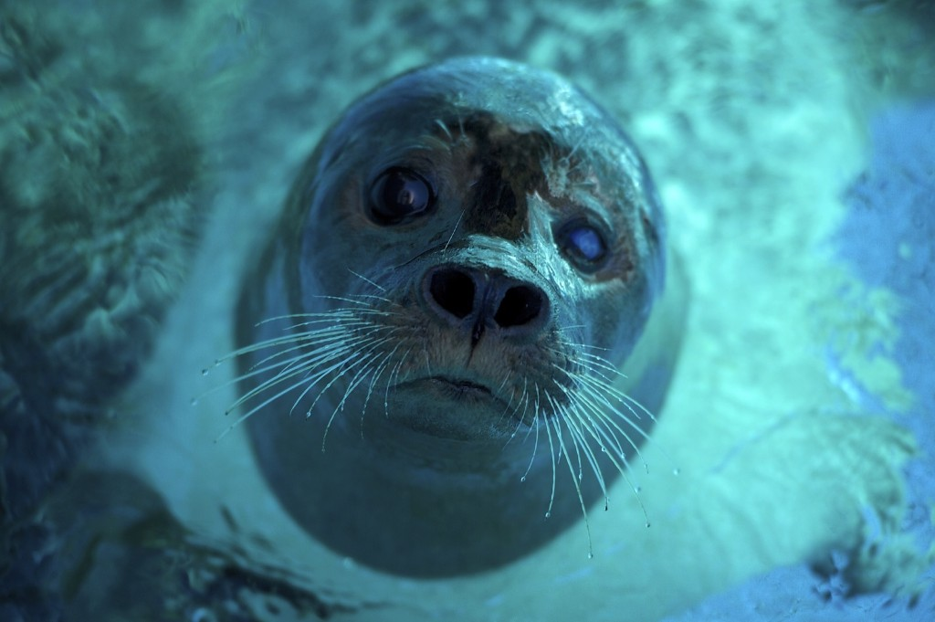 A seal cools off at Belgrade Zoo during a heatwave. ANDREJ ISAKOVIC/AFP/Getty Images