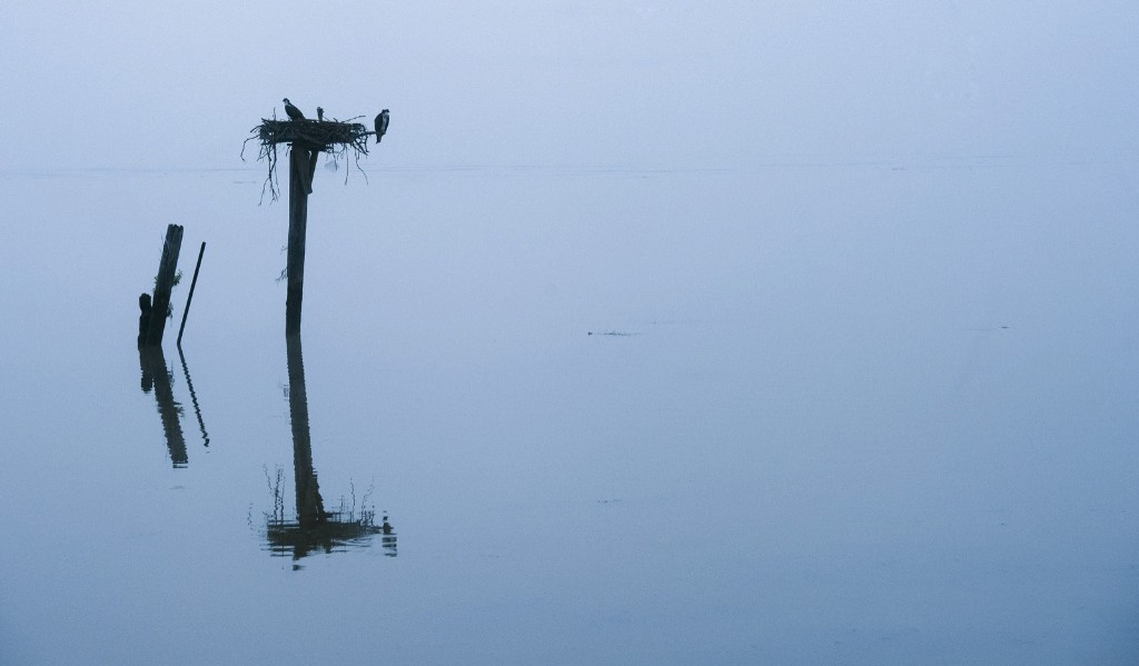A pair of osprey sit in their nest in the early morning fog on the Potomac River. AP Photo/Cliff Owen