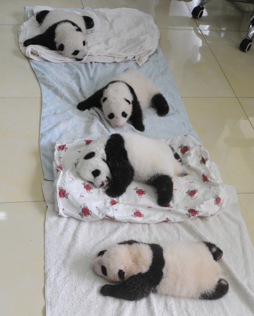 Newborn panda cubs are seen at Ya'an Base, Friday, in Ya'an, Sichuan Province of China. ChinaFotoPress/Getty Images