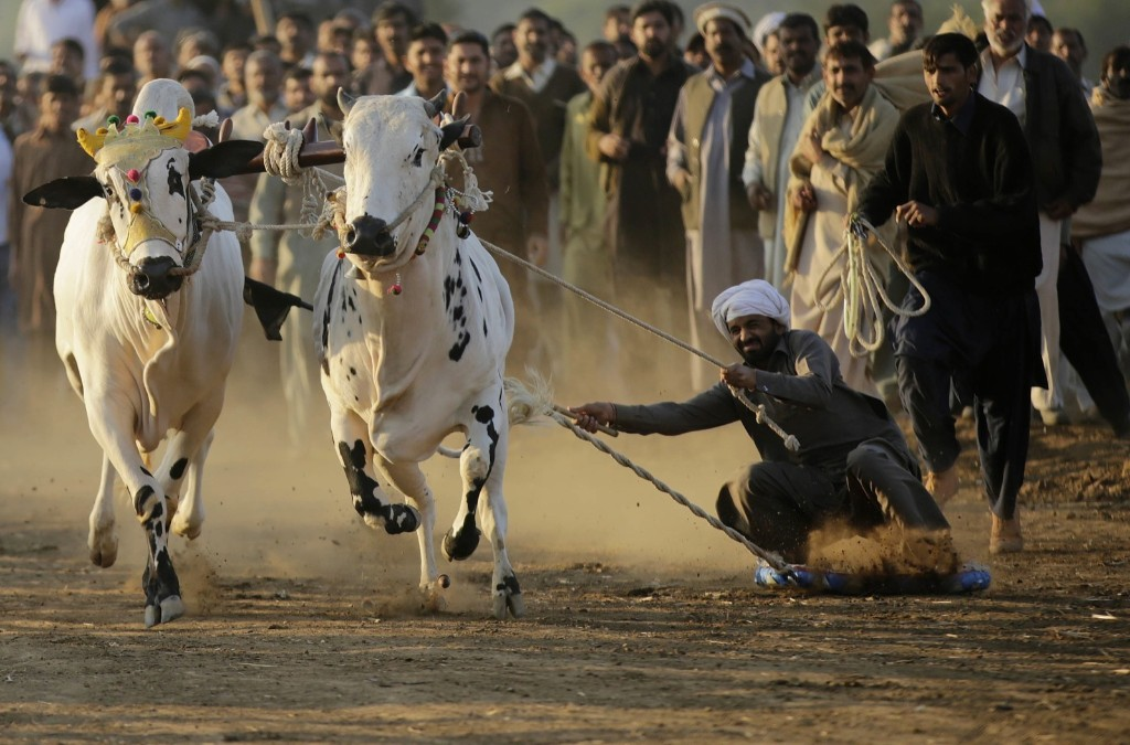 A Pakistani farmer competes in a traditional bull race in Rawat village, 40 kilometers north of Islamabad. Metin Aktas/Anadolu Agency/Getty Images