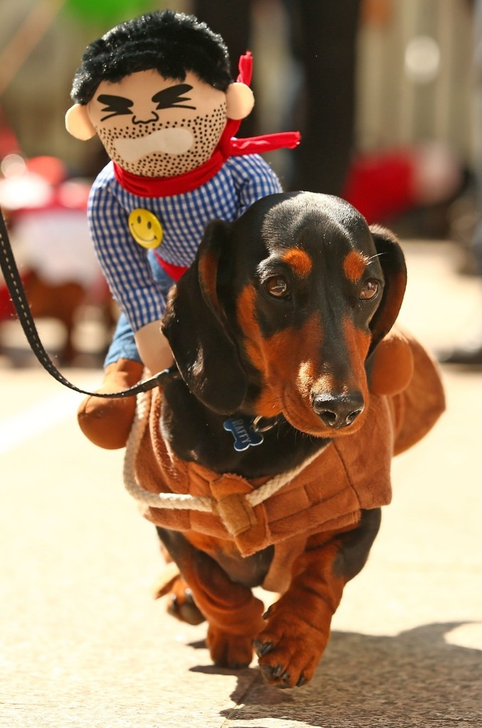 A mini dachshund competes in the Hophaus Southgate Inaugural Best Dressed Dachshund competition, Satuday, in Melbourne, Australia. Scott Barbour/Getty Images