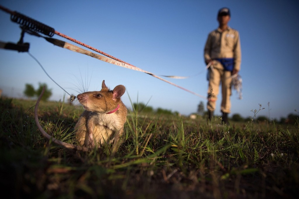 A mine detection rat searches as its handler looks on, Thursday, in Siem Reap, Cambodia. Taylor Weidman/Getty Images