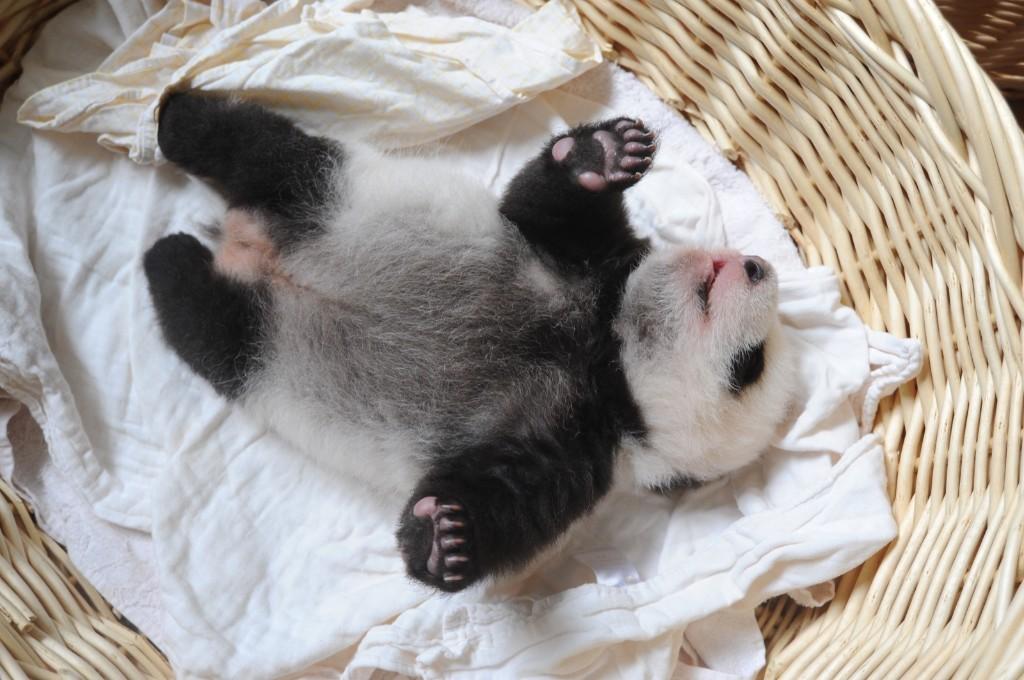 A newborn panda cub lies in a basket at Ya'an Base Friday, in Ya'an, Sichuan Province of China. ChinaFotoPress/Getty Images