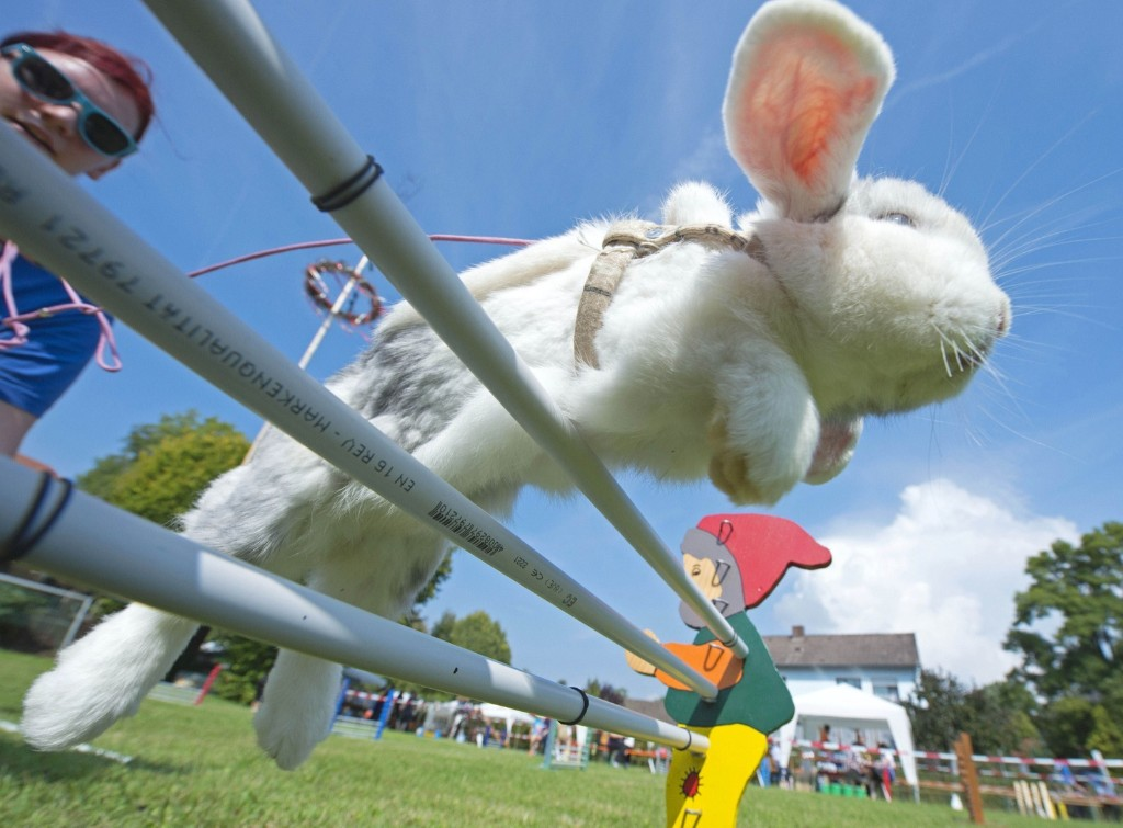 A rabbit named Lenny jumps during the Kaninhop competition in Weissenbrunn vorm Wald, Germany. AP Photo/Jens Meyer