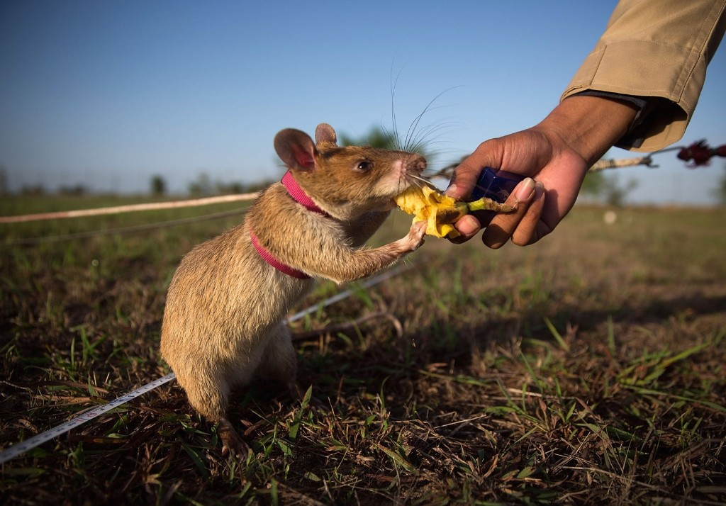 A mine detection rat is given banana as a reward after successfully identifying an inactive mine, Thursday, in Siem Reap, Cambodia. Taylor Weidman/Getty Images