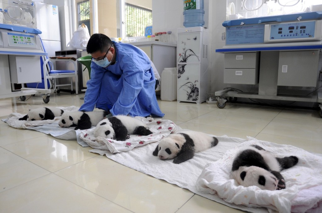 A researcher moves giant panda cubs on blankets during their debut appearance to visitors at a giant panda breeding centre in Ya'an, Sichuan province, China, Friday. REUTERS/Stringer
