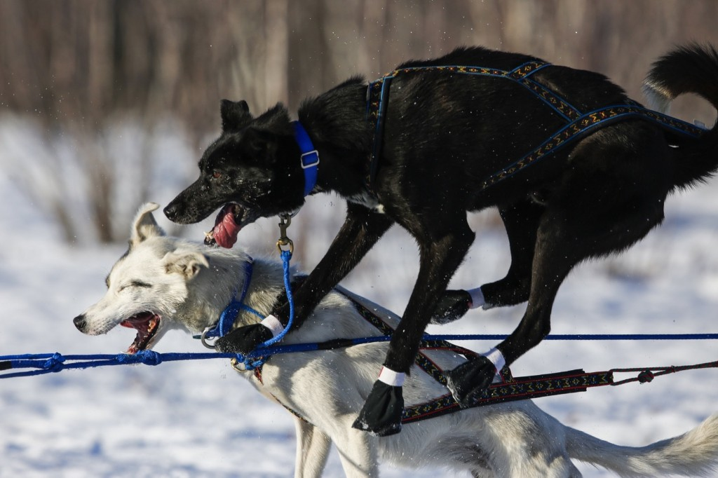 Martin Koenig's team gets tangled up after leaving the start chute during the Iditarod Trail Sled Dog Race in Willow, Alaska. REUTERS/Nathaniel Wilder