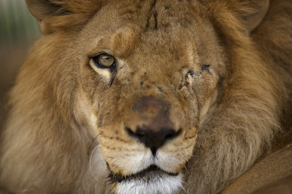 A former circus lion who's missing an eye sits inside a cage at a temporary refuge in Lima, Peru. AP Photo/Rodrigo Abd