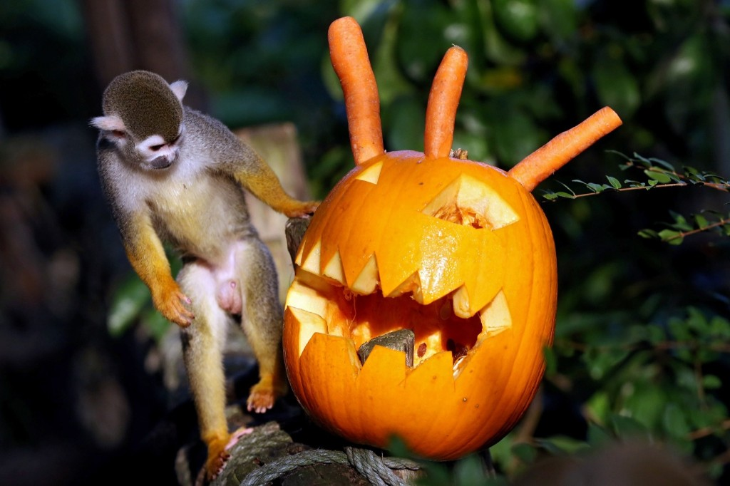 A squirrel monkey approaches a carved pumpkin at the zoo in Leipzig, Germany. Zoo staff bring their animals a sweet surprise on the eve of Halloween. In this case, raisins were hidden in the head. EPA/JAN WOITAS