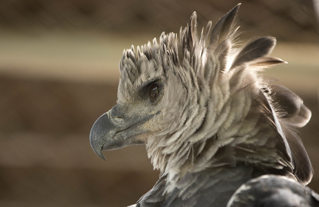 A Harpy eagle at the Chico Mendes Ecological Park in Rio Branco, Brazil. AP Photo/Andre Penner