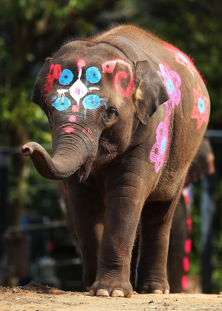 A detail of paint on Tukta at Taronga Zoo in Sydney. The zoo's three female elephants were painted as they are in Thailand to recognise the Thai New Year. Brendon Thorne/Getty Images