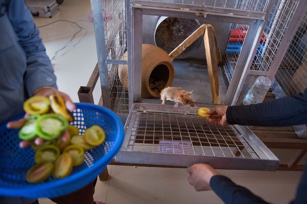 Handlers feed the rats after a morning of training and tests, Thursday, in Siem Reap, Cambodia. Taylor Weidman/Getty Images