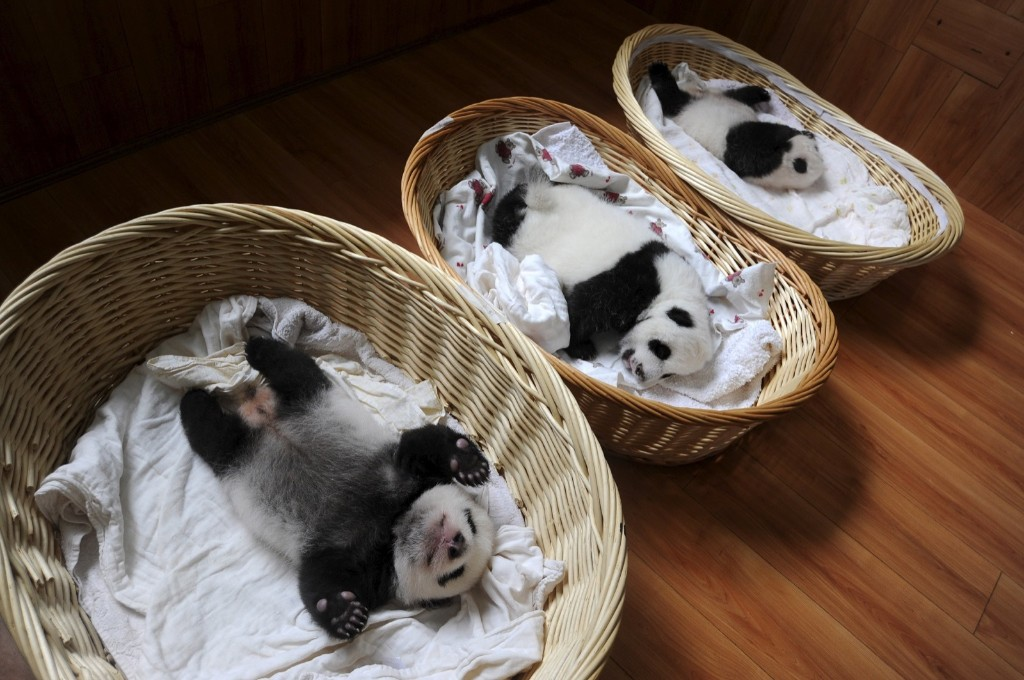 Giant panda cubs are seen inside baskets during their debut appearance to visitors at a giant panda breeding centre in Ya'an, Sichuan province, China, Friday. REUTERS/Stringer