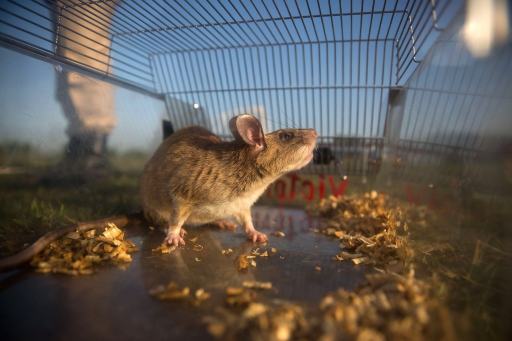 A mine detection rat looks out of it's cage before training begins, Thursday, in Siem Reap, Cambodia. Taylor Weidman/Getty Images