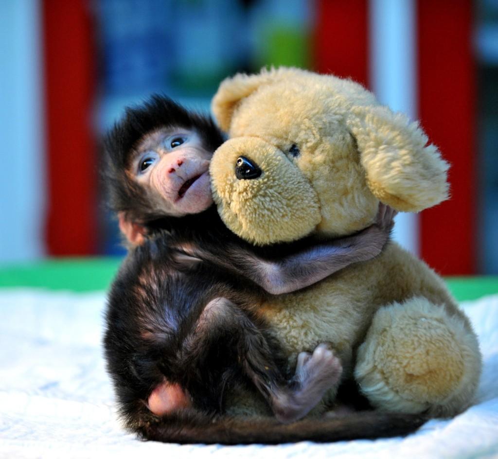 A newborn baboon cuddles a teddy bear at the Gaziantep Zoo in Turkey. Kerem Kocalar/Anadolu Agency/Getty Images
