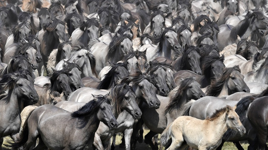 Wild horses are driven in Duelmen, Germany, so that young men can separate the young stallions from one of Europe's last herds of wild horses. AP Photo/Martin Meissner