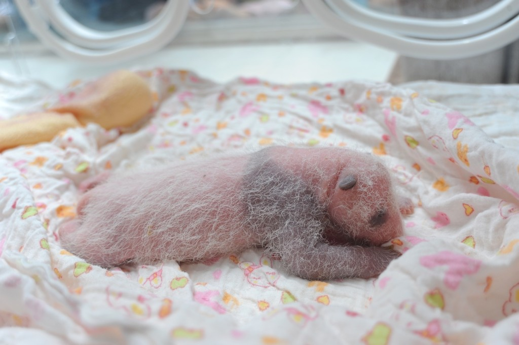 A newborn panda cub is seen at Ya'an Base, Friday, in Ya'an, Sichuan Province of China. ChinaFotoPress/Getty Images