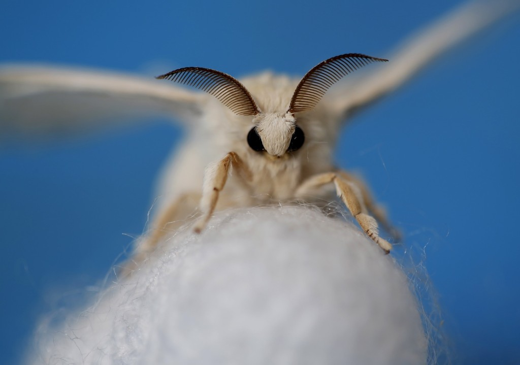 A silkmoth that has hatched out of its cocoon at the Campoverde cooperative, Castelfranco Veneto, Italy. REUTERS/Alessandro Bianchi