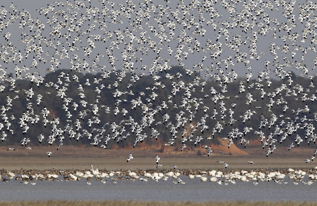 Pied avocets fly over the Boyang lake in Jiujiang. REUTERS/Stringer