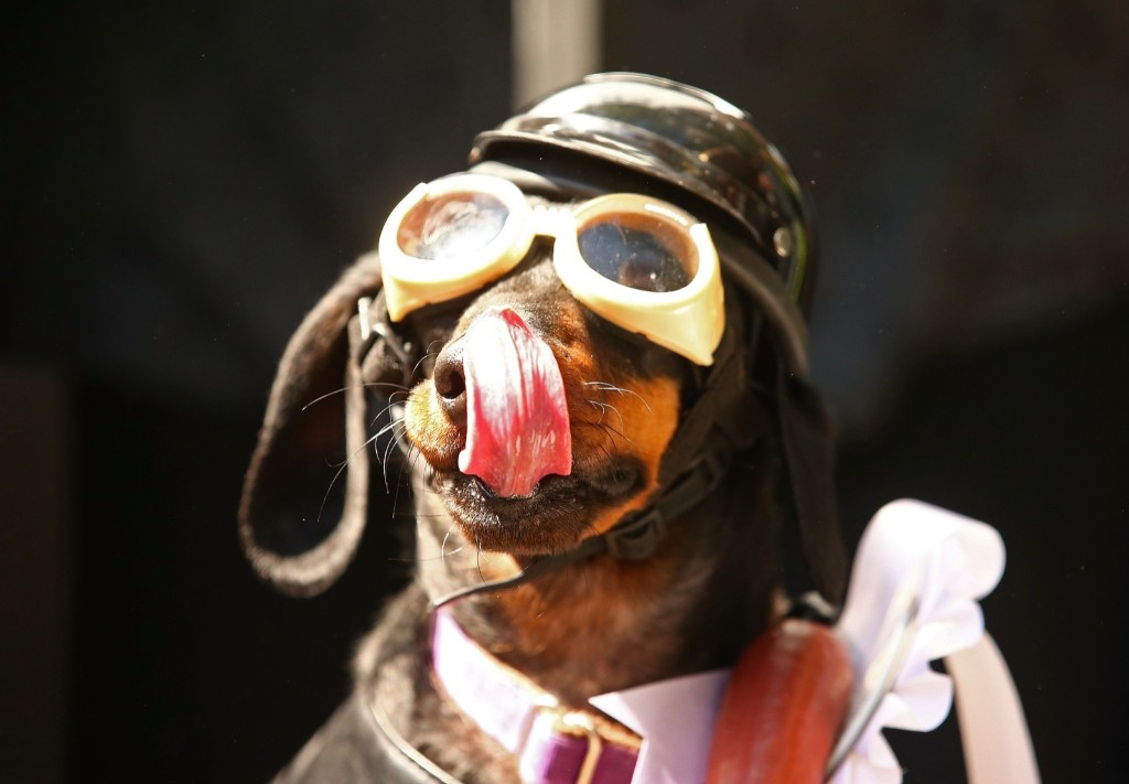 Mini dachshund Chilli, dressed as a biker dog competes in the Hophaus Southgate Inaugural Best Dressed Dachshund competition, Saturday, in Melbourne, Australia. 30 mini dachshunds, 6 standard dachshunds and 18 dachshund puppies all competed for first place and for Best Dressed Dachshund during the annual Oktoberfest celebration. Scott Barbour/Getty Images