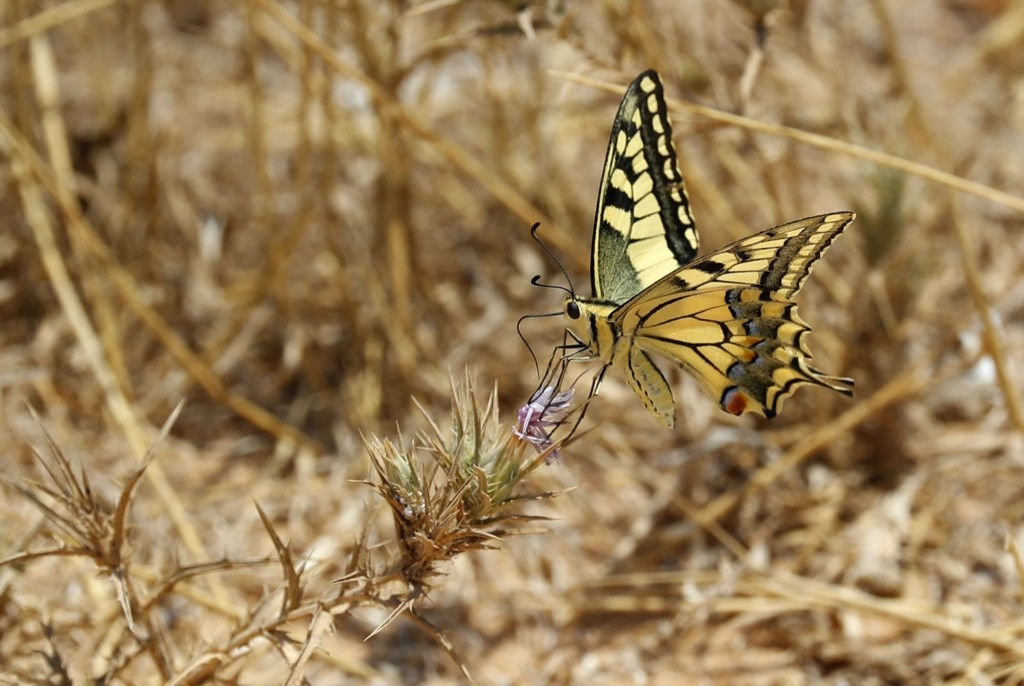 A Papilio Machaon butterfly on a thistle stem along the border between Israel and the Gaza Strip. JACK GUEZ/AFP/Getty Images