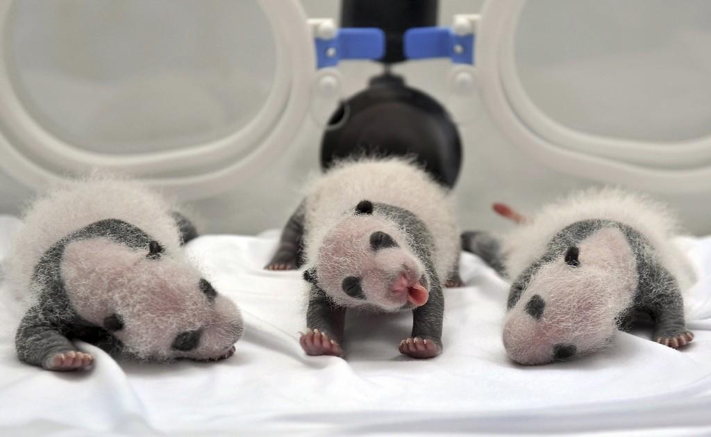 Newborn giant panda triplets inside an incubator at the Chimelong Safari Park in Guangzhou. REUTERS/Stringer
