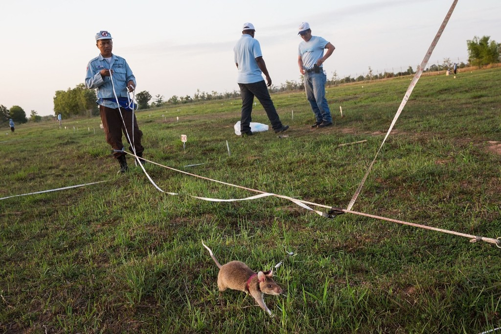 A rat searches for land mines and unexploded ordnance during a training session, Thursday, in Siem Reap, Cambodia. Taylor Weidman/Getty Images