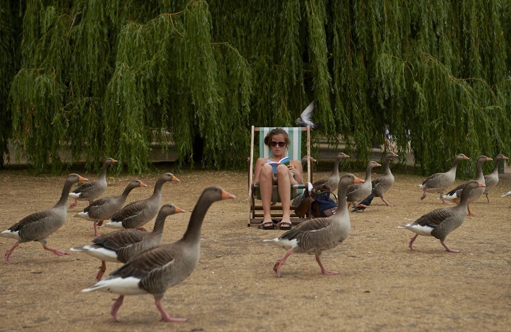 A woman is surrounded by geese as she reads a book in London's Hyde Park. NIKLAS HALLE'N/AFP/Getty Images