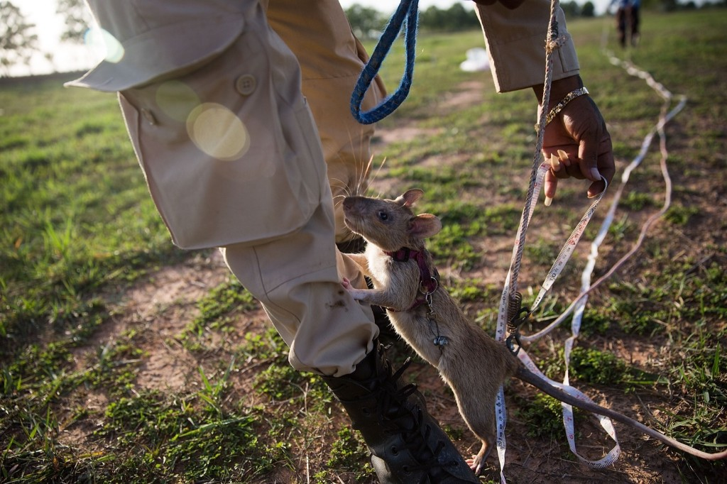 A rat climbs on a handler's leg after finishing the morning's training, Thursday, in Siem Reap, Cambodia. Taylor Weidman/Getty Images