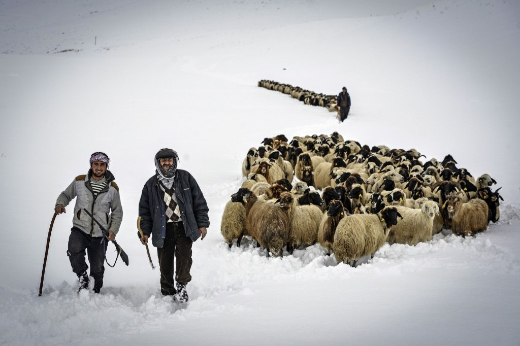 Shepherds walk with their sheep and the goats amidst the heavy snow during the seasonal migration back to their villages in Turkey's eastern province of Van. Ozkan Bilgin/Anadolu Agency/Getty Images