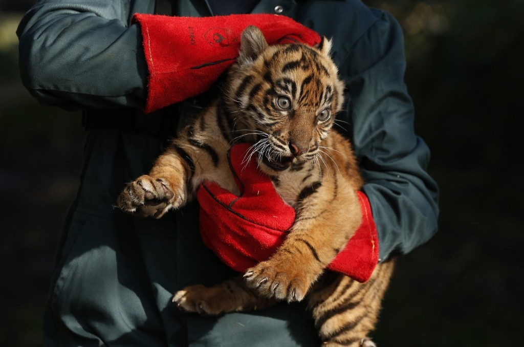A keeper holds a 12-week old Sumatran tiger cub during a routine health check at Chester Zoo in England. REUTERS/Phil Noble