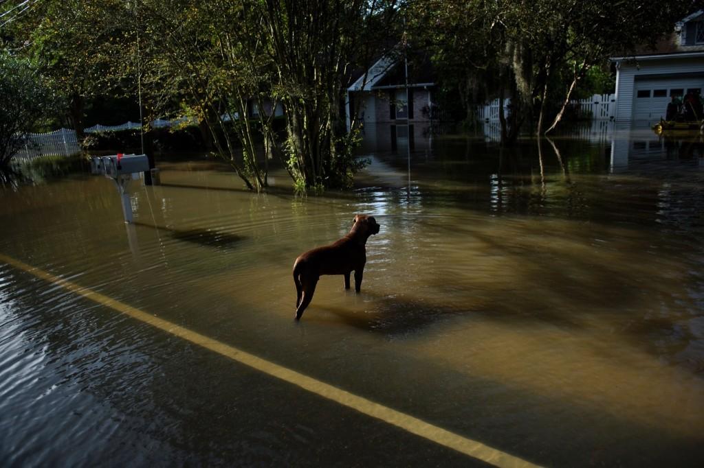 A dog wanders through a flooded neighborhood in Gonzales, La. BRENDAN SMIALOWSKI/AFP/Getty Images