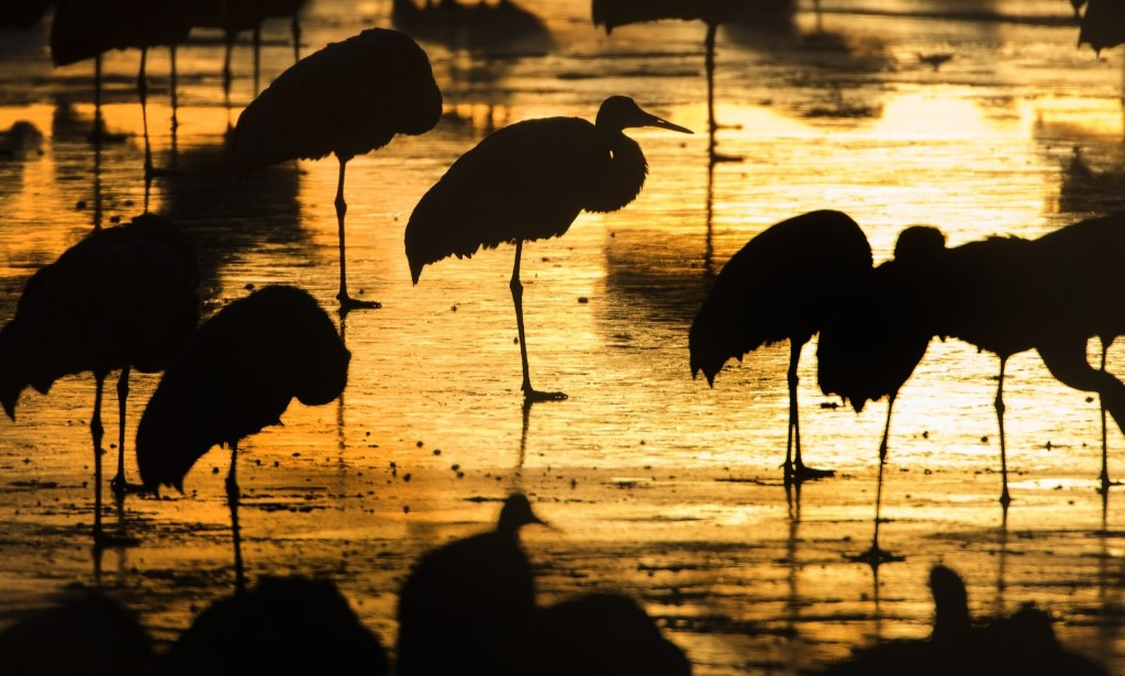 Sandhill cranes begin to stir after resting for the night at a roosting location along their winter migration route in Cecilia, Ky. AP Photo/David Stephenson