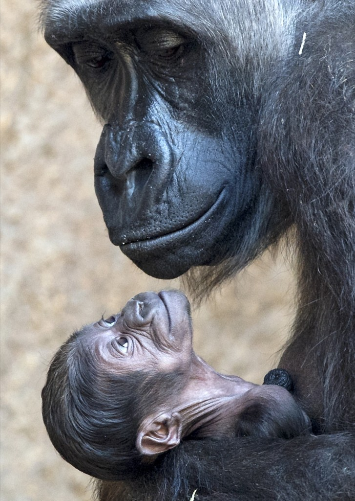 Gorilla mother Kumili with her newborn at the zoo in Leipzig. AP Photo/Jens Meyer