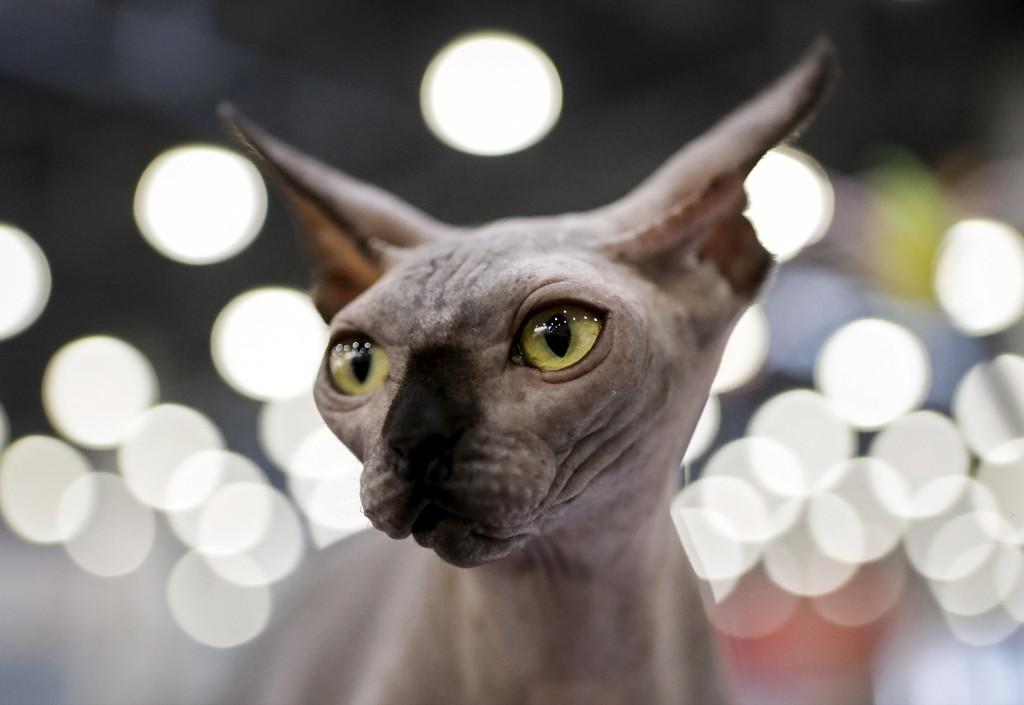 A Sphynx during the Catsburg 2016 International cat show in Moscow. REUTERS/Sergei Karpukhin