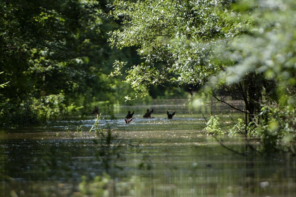 A family of deer make their way through flood waters in Gonzales, La. BRENDAN SMIALOWSKI/AFP/Getty Images