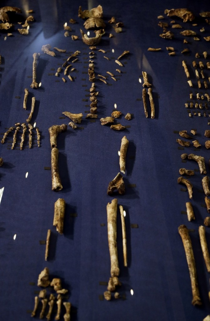 A composite skeleton of Homo naledi surrounded by some of the hundreds of other fossil elements displayed in Magaliesburg, South Africa, Thursday. AP Photo/Themba Hadebe