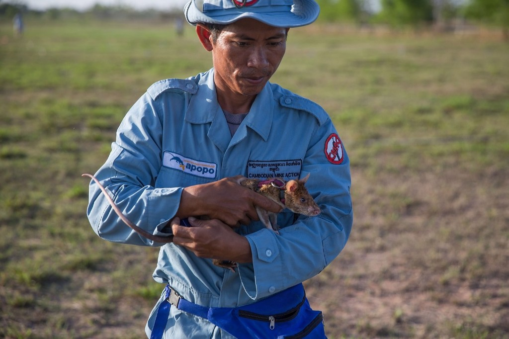A handler carries a rat to an enclosure, Thursday, in Siem Reap, Cambodia. Taylor Weidman/Getty Images