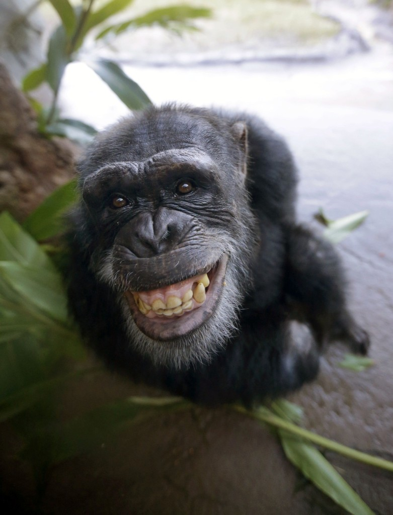 Chaos, a chimpanzee, during his public debut at the Houston Zoo, Tuesday. AP Photo/David J. Phillip