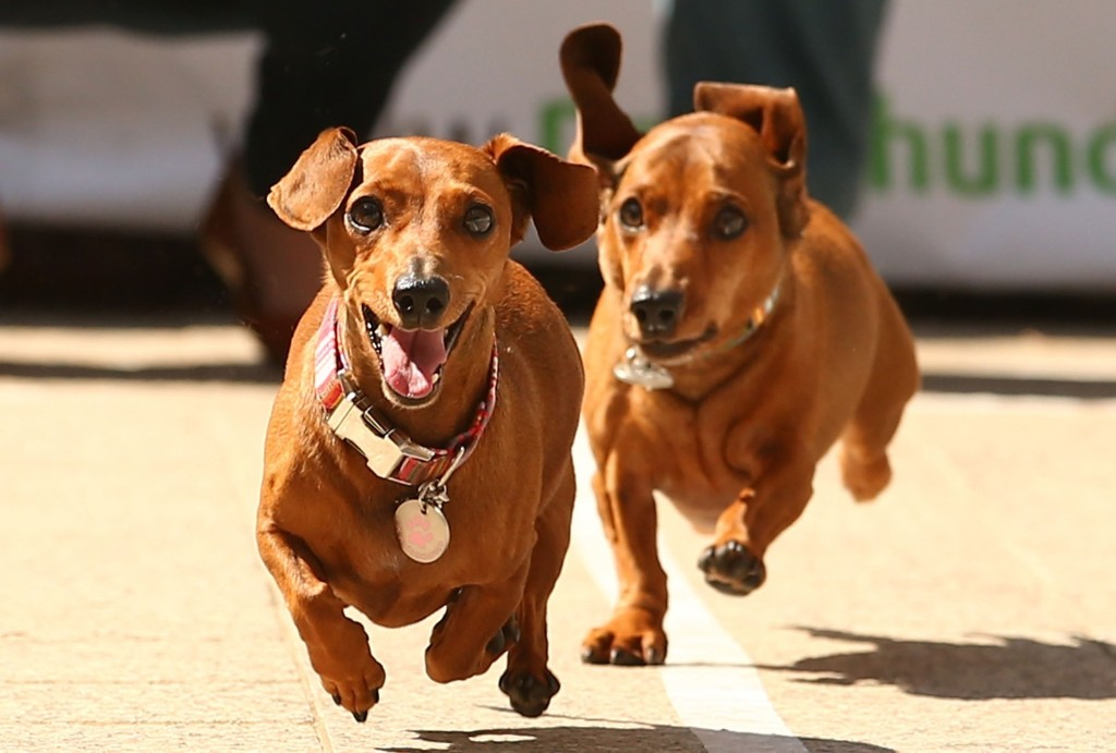 Mini dachshunds run as they compete in the Hophaus Southgate Inaugural Dachshund Running of the Wieners Race, Saturday, in Melbourne, Australia. Scott Barbour/Getty Images