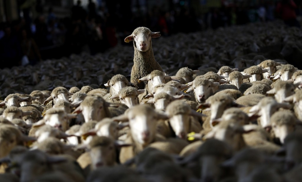 Sheep are led by shepherds through the streets of Madrid. AP Photo/Francisco Seco