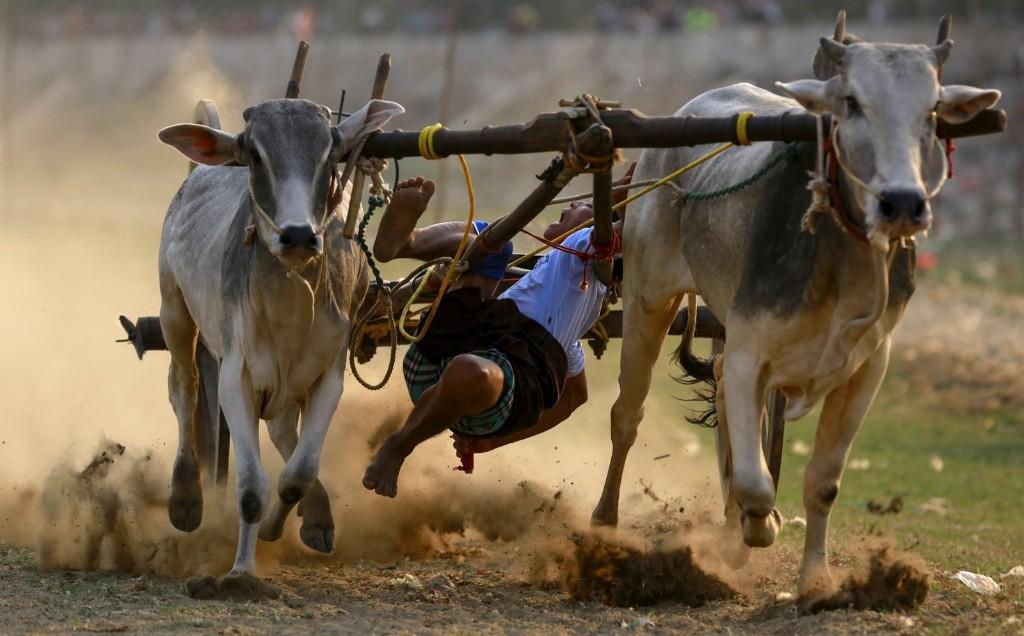 A man falls from an ox cart as he competes during a competition near U Bein bridge in Mandalay. REUTERS/Soe Zeya Tun