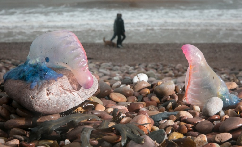 Jellyfish that have been washed up on Sidmouth beach by Hurricane Ophelia in Devon, England. Matt Cardy/Getty Images