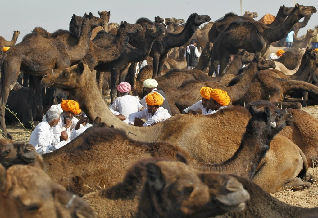 Camel traders rest in a group surrounded by their herd at the Pushkar Fair in Rajasthan. REUTERS/Jitendra Prakash