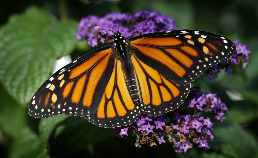 A Monarch butterfly rests on a flower in Urbandale, Iowa. AP Photo/Charlie Neibergall