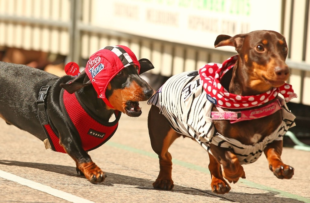 Cooper, dressed as a racing car driver chases a competitor as he competes in the Hophaus Southgate Inaugural Dachshund Running of the Wieners Race, Satuday, in Melbourne, Australia. Scott Barbour/Getty Images