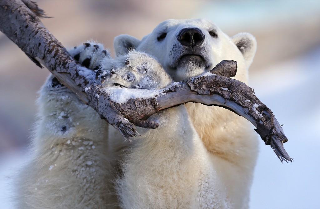 Taiga the polar bear hanging onto a tree branch at the Quebec Aquarium, Monday. REUTERS/Mathieu Belanger